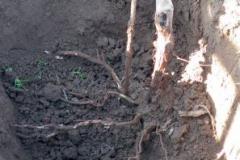 Obrázek 1 Kořenový systém révy